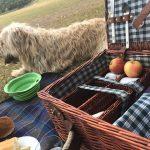 Labradoodle at picnic