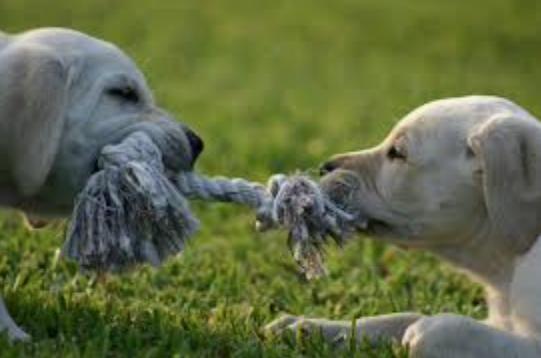 Labrador puppies playing tug
