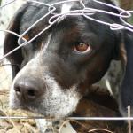 Rescue Remedy - dog peering through fence