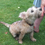 Irish terrier puppy Rosie targeting hand
