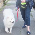 Samoyed Mishka walking on a loose lea