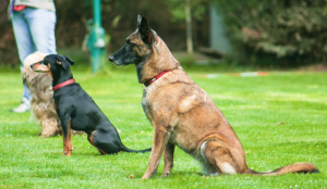 Dog obedience sit