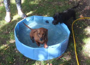 Dogs playing in a paddling pool
